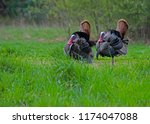 Two wild male Turkeys displaying their feathers around each other.