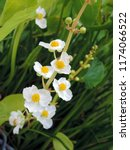 close up of the blooming white... | Shutterstock . vector #1174066522