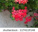 geranium peltatum  ivy leaf...   Shutterstock . vector #1174119148