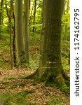 beech forest. beech is a... | Shutterstock . vector #1174162795