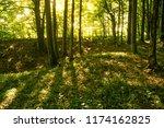 beech forest. beech is a... | Shutterstock . vector #1174162825