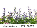 australis baptisia and weigela... | Shutterstock . vector #1174168672