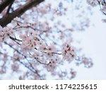 japanese cherry blossoms | Shutterstock . vector #1174225615