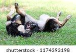 dog lying on the grass | Shutterstock . vector #1174393198