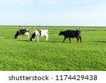netherlands wetlands maarken... | Shutterstock . vector #1174429438