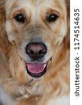 close up on golden retriver... | Shutterstock . vector #1174514635