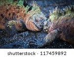 Battle Male Marine Iguanas ...