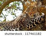 Wild Leopard Lying In Wait Atop ...