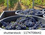 harvesting grapes in grape yard | Shutterstock . vector #1174708642