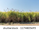 Mature sugar cane crop ready for harvest south of Bundaberg, Queensland, Australia.