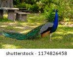Beautiful Peacock Spreading It...