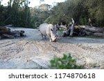 rhinoceros  'rhino'  is one of... | Shutterstock . vector #1174870618