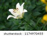 lilies lilium lily   flowers... | Shutterstock . vector #1174970455
