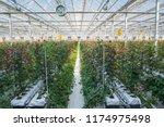 large industrial greenhouse... | Shutterstock . vector #1174975498