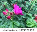 red roses are ready to bloom | Shutterstock . vector #1174982155