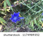 cichorium intybus the same... | Shutterstock . vector #1174989352