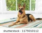 cute german shepherd dog at... | Shutterstock . vector #1175010112