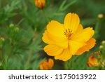 yellow cosmos or cosmos... | Shutterstock . vector #1175013922