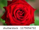 background bud of red rose | Shutterstock . vector #1175056732