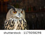 Stock photo photo of an owl in macro photography high resolution photo of owl cub the bureaucratic owl also 1175058298