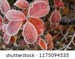 Frosted Red Leaves On Aronia...