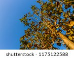 the branches of tree stand...   Shutterstock . vector #1175122588