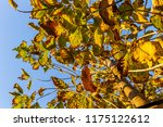 the branches of tree stand... | Shutterstock . vector #1175122612