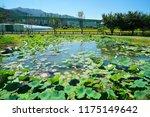 south korea summer pond lotus | Shutterstock . vector #1175149642