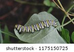 macro photo of a monarch... | Shutterstock . vector #1175150725