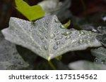 macro photo of an green english ... | Shutterstock . vector #1175154562