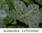 macro photo of an green english ... | Shutterstock . vector #1175154565