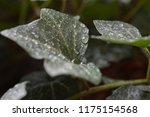 macro photo of an green english ... | Shutterstock . vector #1175154568