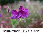 Flowering Lathyrus  Purple...