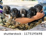 Stock photo happy puppy dog in hands of a man litter dogs in the hands of the breeder family group of puppies 1175195698