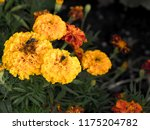 mexican marigolds  tagetes... | Shutterstock . vector #1175204782
