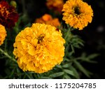 mexican marigolds  tagetes... | Shutterstock . vector #1175204785
