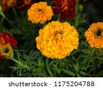 mexican marigolds  tagetes... | Shutterstock . vector #1175204788
