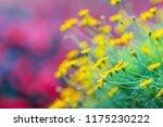 dahlberg daisy flowers ... | Shutterstock . vector #1175230222