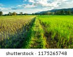 view farm area cultivated for... | Shutterstock . vector #1175265748