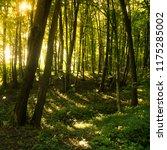 beech forest. beech is a... | Shutterstock . vector #1175285002