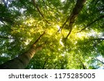 beech forest. beech is a... | Shutterstock . vector #1175285005