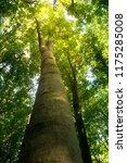 beech forest. beech is a... | Shutterstock . vector #1175285008
