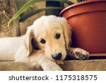 close up of a puppy labrador... | Shutterstock . vector #1175318575