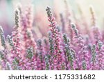heather frozen flowers. bright... | Shutterstock . vector #1175331682