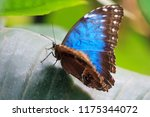 Close Up Blue Morpho Butterfly...