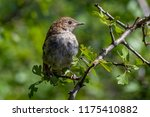 a common nightingale in the... | Shutterstock . vector #1175410882