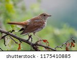 a common nightingale in the... | Shutterstock . vector #1175410885