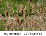 close up common reed  common...   Shutterstock . vector #1175424568