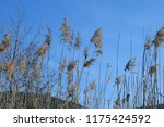 close up common reed  common...   Shutterstock . vector #1175424592