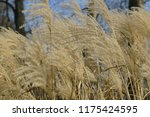 close up common reed  common...   Shutterstock . vector #1175424595